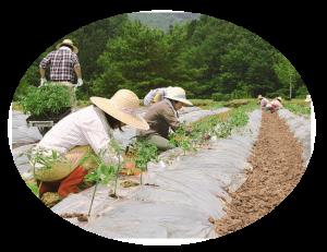 トマト農園 苗植え付け